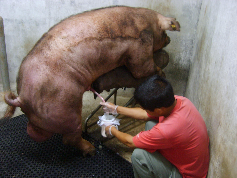 Рассказы секс с свиней 14 фотография